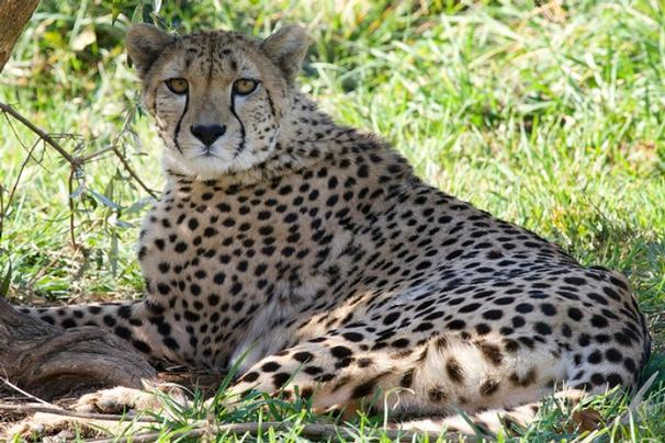 cheetah doesn t like being called cute lettuce fold